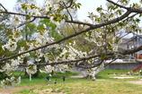 写真掌編:桜の下で 13:爺ちゃんと孫 (13)