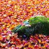 秋の彩り16:落ち紅葉(写真句)