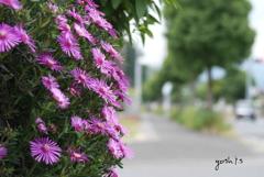 写真句:道路っぷちの松葉菊2