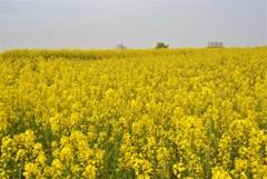 長崎鼻の黄色い世界