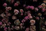 今はまだ紫陽花の域を超えず。