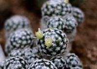 OLYMPUS E-M5で撮影した(仙人掌玉の花)の写真(画像)