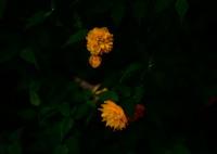 OLYMPUS E-M5で撮影した(ヤマブキ)の写真(画像)
