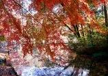 枝垂れる紅葉