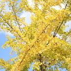 CANON Canon EOS 5D Mark IVで撮影した(黄色い秋)の写真(画像)