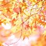 CANON Canon EOS 5D Mark IVで撮影した(秋、かく輝けり)の写真(画像)