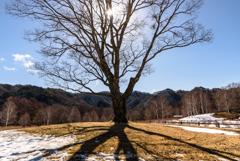 小楢の古木