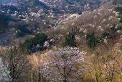 桜仙峡の春