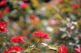 『夏の薔薇は雨の中』