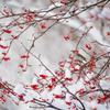 雪の中、真っ赤な粒の花が咲く