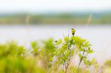 北の大地に黄色い華が来る