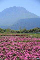 芝桜と平成新山