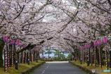 大村公園-桜並木