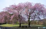 公園の枝垂れ桜