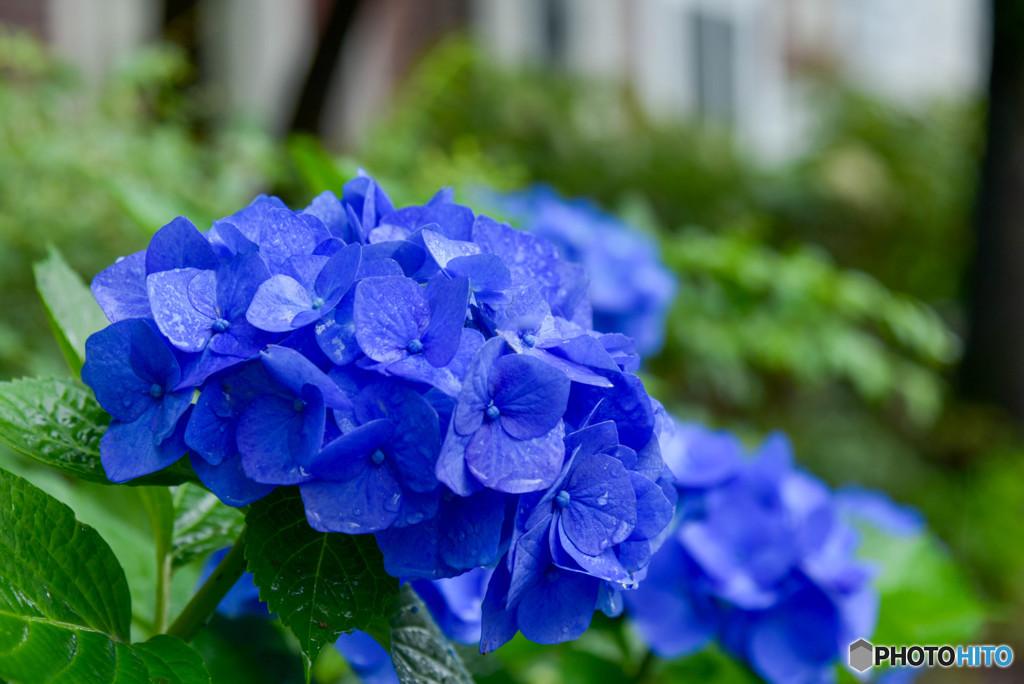 蒼き紫陽花