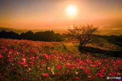 晩秋の秋桜
