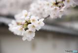 大村公園-城跡に咲く