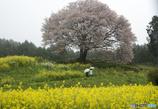 馬場の山桜-お花見