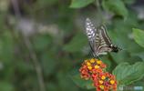 ランタナとアゲハ蝶