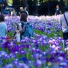 昼下がりの花菖蒲園