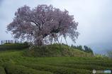 嬉野百年桜