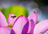 朝の蓮華と蜂
