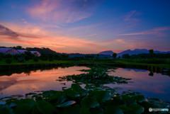 夜明けのスイレン池