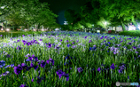 夜の花菖蒲園