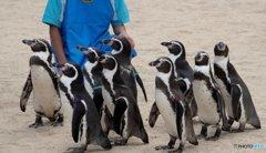 整列するペンギン
