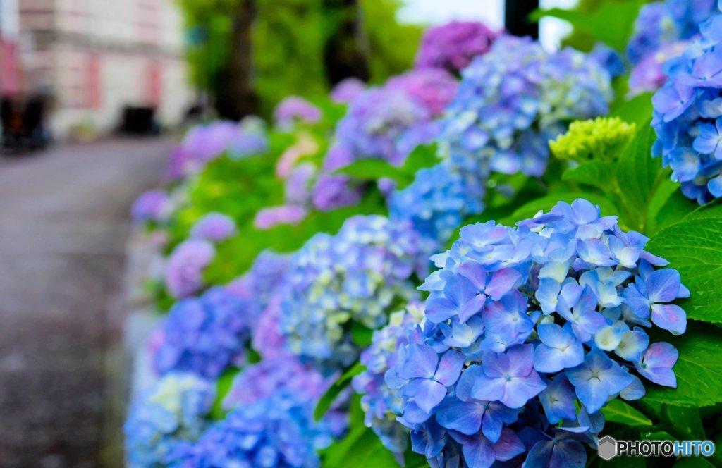 紫陽花通り