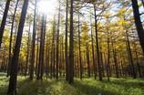 落葉松林の徘徊