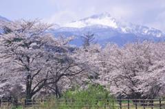 桜前線雪山こえて