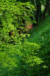 緑葉(もみじ)
