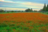 オレンジ色の絨毯♪