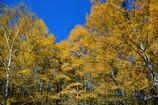 青空に映えるカラマツ林