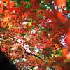 ドウダンツツジの紅葉3