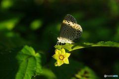 シジミ蝶? IMGP8243