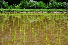 都市農業公園 (紫陽花と田植え)