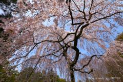 近衛邸跡の枝垂れ桜③