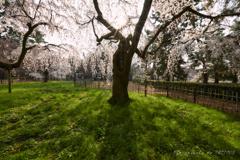 近衛邸跡の枝垂れ桜①
