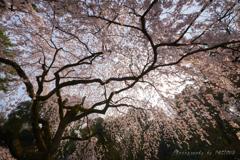 近衛邸跡の枝垂れ桜②