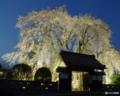 南信州 増泉寺の枝垂れ桜