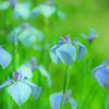 西新宿おじいちゃんとおばあちゃんの花しょうぶ園(佐用町)