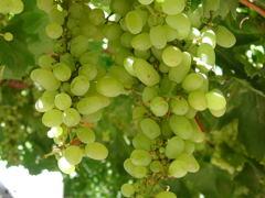 中国 トルファンの葡萄