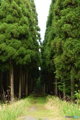 杉林の小道