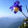 RICOH GR Digitalで撮影した植物(ミヤマオダマキ)の写真(画像)