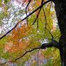RICOH GR Digitalで撮影した植物(紅葉)の写真(画像)