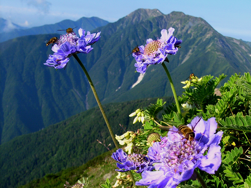 マツムシソウとミツバチ