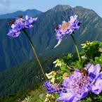 RICOH GR Digitalで撮影した植物(マツムシソウとミツバチ)の写真(画像)