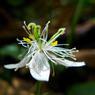 PANASONIC DMC-LX3で撮影した植物(高山に咲く花)の写真(画像)
